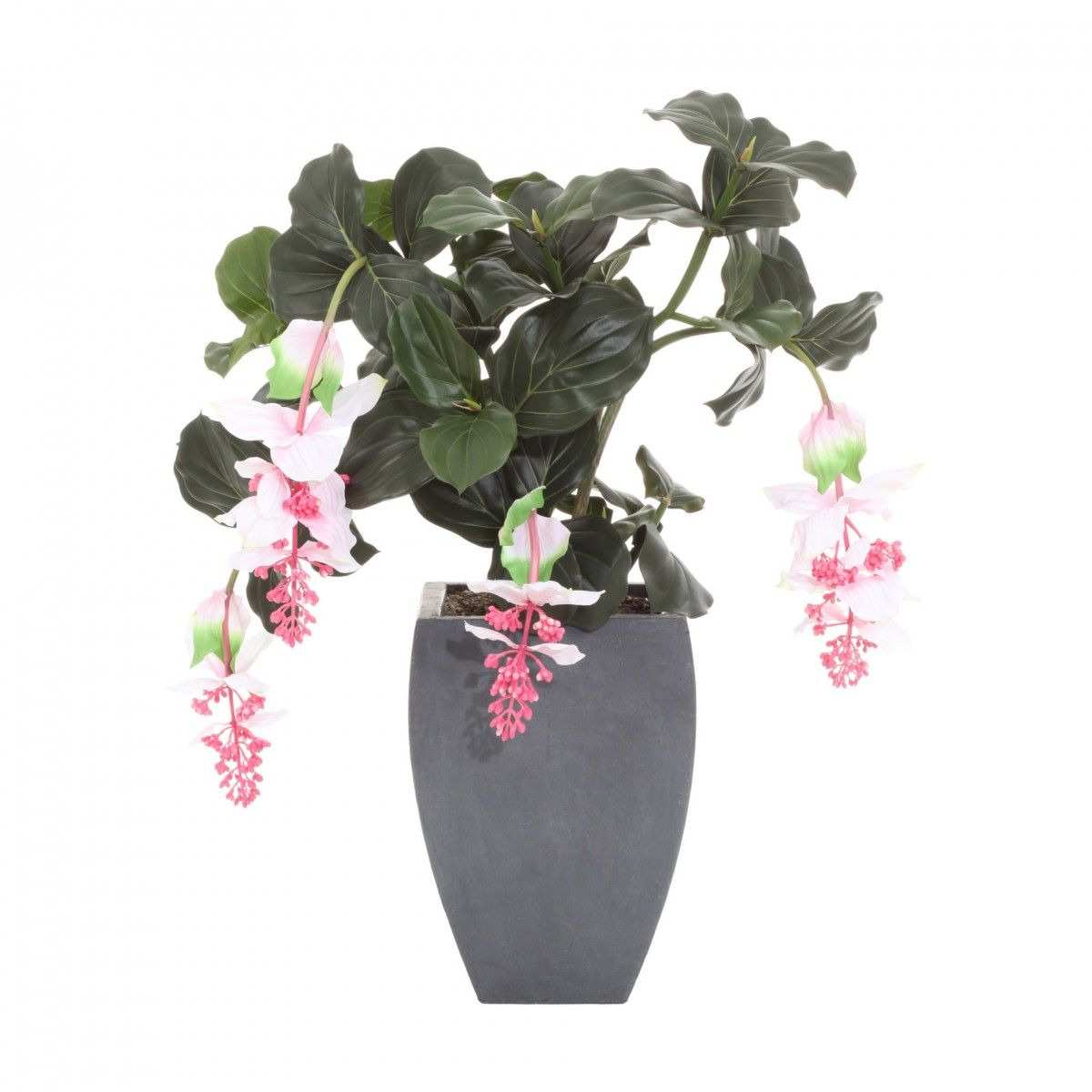medinilla magnifica 90cm mit topf kaufen bei. Black Bedroom Furniture Sets. Home Design Ideas